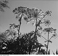 Fotothek df ps 0000896 001 Pflanzen ^ Sonstiges.jpg