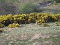 Foxes' den in the Kilpatrick Hills - geograph.org.uk - 815466.jpg