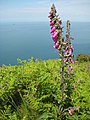 Foxglove on the coast - geograph.org.uk - 1430146.jpg