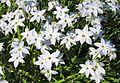 Frühlingsstern (Ipheion uniflorum).jpg
