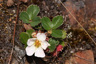 Virginia strawberry - Fragaria virginiana in Deception Pass State Park, Washington (state)