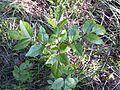 Fraxinus ornus (subsp. ornus) sl7.jpg