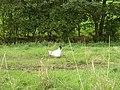Free range hen in field off Oakenshaw Lane, Scholes, Cleckheaton - geograph.org.uk - 235652.jpg