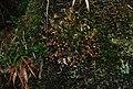Fringed moon lichens hoh rainforest d archuleta march 05 2015 (17323126912).jpg