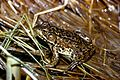 Frog amphibia on leaves.jpg