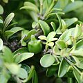 Fruit on Buxus microphylla, angled view.JPG