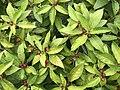 Fruits of Elaeagnus umbellata 20170725.jpg