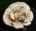 Fungi in Jyväskylä 4.jpg