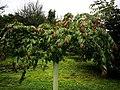 GFA U. lanceifolia, juvenile tree.jpg