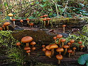 A few dozen brownish-orange mushrooms of various sizes growing on a rotted log covered with moss. The caps of the mushrooms are rolled inwards, and rest on stems that range in color from whitish to light orange-brown. Several of the stems have small, dark orange rings near the top.