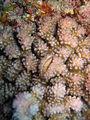 Galle de Hapalocarcinus marsupialis dans Pocillopora-1.JPG