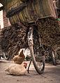 Gallinas bajo la sombra de una bicicleta (8512781777).jpg