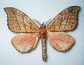 Gangarides rosea - Burma - 2008 (5411587386).jpg