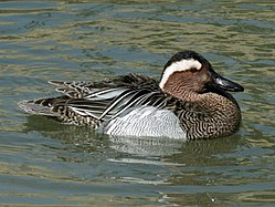 definition of garganey