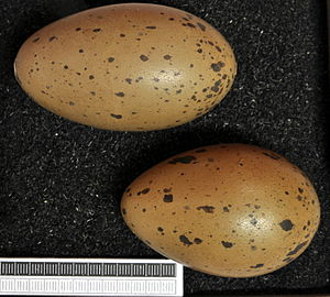 Red-throated loon - Eggs, Collection Museum Wiesbaden