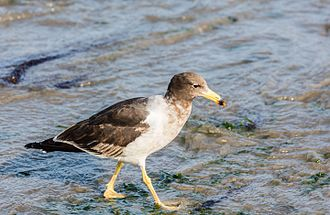 Belcher's gull - Looking for food in the beach in Peru
