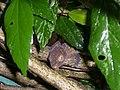 Gecko in the jungle of Pulau Kecil - Malaysia - panoramio.jpg