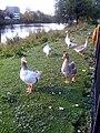 Geese? (4018816285).jpg