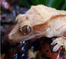 Gekkoninae Rhacodactylus ciliatus tete.png