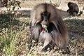Gelada Ethiopia.jpg