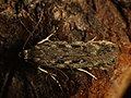 Gelechia cuneatella - Long-winged groundling (40903347591).jpg