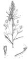 Genista tinctoria Taub110a.png
