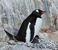 Gentoo Penguin with chick at Jougla Point, Antarctica (6063645788).jpg