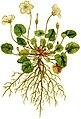 Geranium reichardi 1797.jpg
