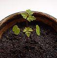 Geranium robertianum - Seedling.jpg