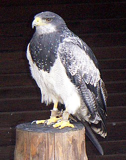 Black-chested buzzard-eagle Species of bird