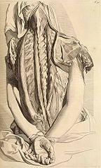 Gerard de Lairesse - Planche d'anatomie pour Govert Bidloo.jpg