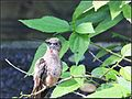Giant Hummingbirds (7776352388).jpg