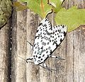 Giant Leopard Moth (Hypercompe scribonia) - Flickr - Jay Sturner.jpg