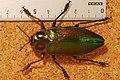 Giant Metallic Ceiba Borer (Euchroma gigantea) (8262066924).jpg