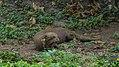 Giant otter (32126272736).jpg