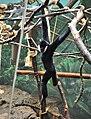 Gibbon (3546362934).jpg
