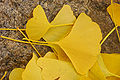 Ginkgo Tree Ginkgo biloba Leaves Rock 3008px.jpg