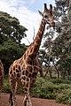 Giraffe (25992860050).jpg