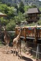 Giraffes at the Cheyenne Mountain Zoo in Colorado Springs, Colorado. The zoo's giraffe breeding program is the most prolific in the world. There is even a Web cam (online camera view) for giraffe LCCN2015633990.tif