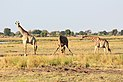 Giraffes in Chobe National Park 02.jpg
