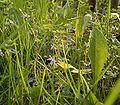 Glechoma hederacea4 ies.jpg