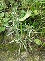 Gnaphalium uliginosum sl18.jpg