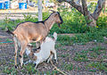 Goat (Capra aegagrus hircus) feeding her calf, Margarita Island.jpg