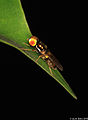 Golden-eyed Soldier fly, ♂ (5254733788).jpg