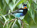 Golden-hooded Tanager 2.jpg