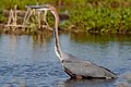 Goliath Heron, Ardea goliath at Marievale Nature Reserve, Gauteng, South Africa (43682834550).jpg