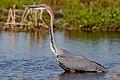 Goliath Heron, Ardea goliath at Marievale Nature Reserve, Gauteng, South Africa (43682834550).jpg