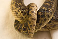 Gopher Snake Pituophis catenifer 04.jpg