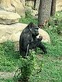 Gorilla gorilla 05.JPG