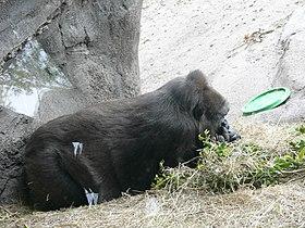 Gorilla gorilla gorilla1.jpg